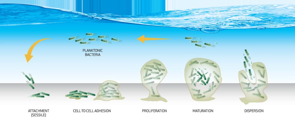 Biofilm Lifecycle Diagram
