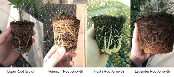 Post EndoSan Root Growth